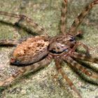 Stiphidion sp.