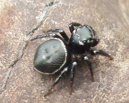 SALTICIDAE Jumping spiders