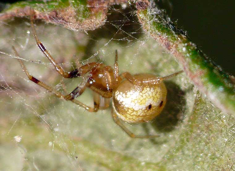 Spider > Theridiidae > Tobesoa theridioides?