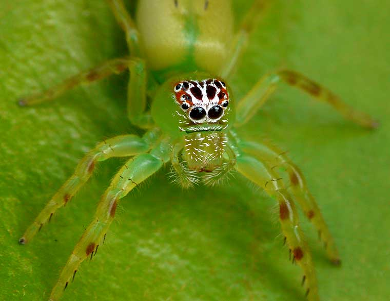 Mopsus mormon Northern Green Jumping Spider