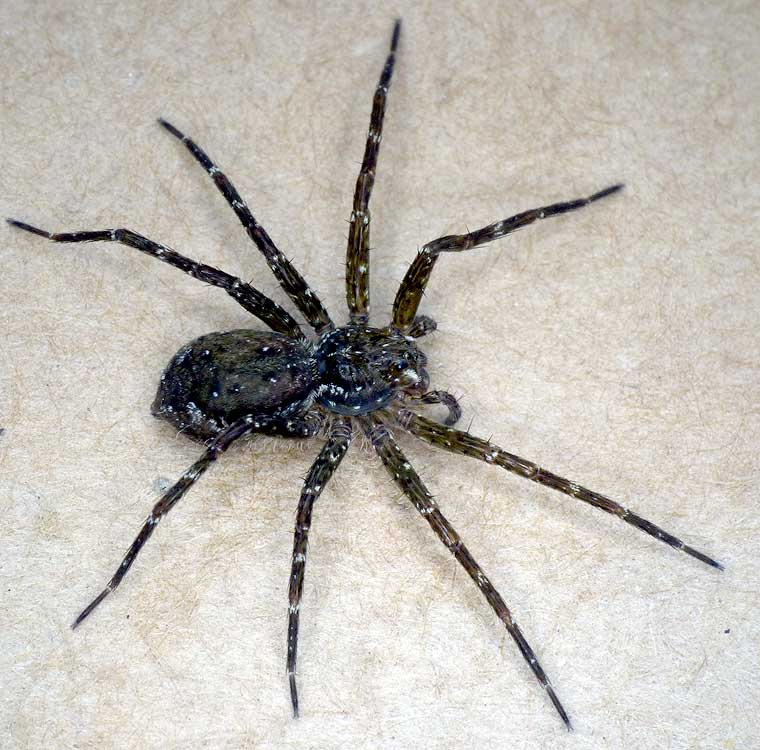 Australian Spiders | www.imgkid.com - The Image Kid Has It!
