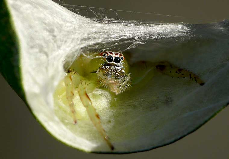 Mopsus mormon Northern Green Jumping Spider retreat with eggs