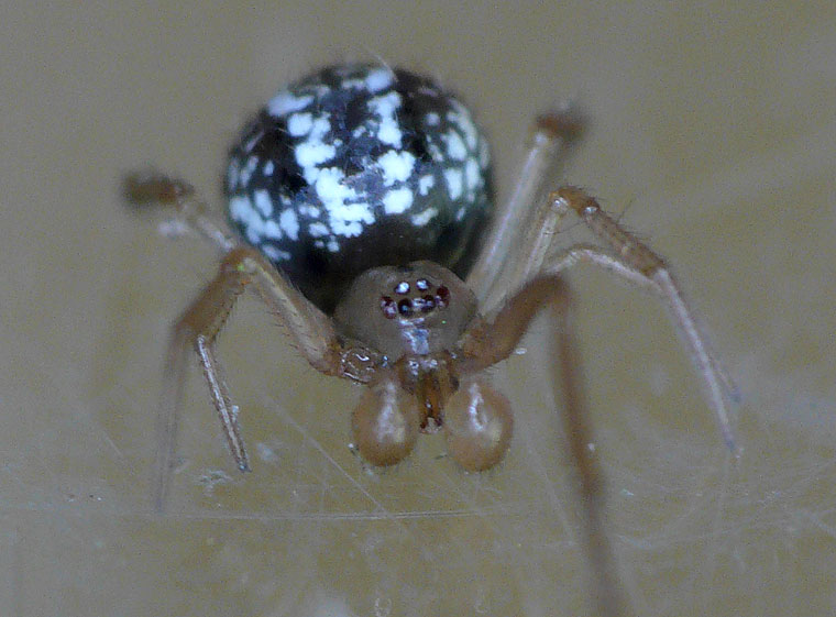 Theridiid spider