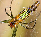 Leucauge decorata