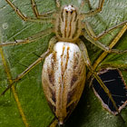 Oxyopes papuanus